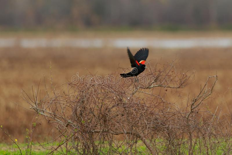 Territory. Red Winged Black Bird singing its territorial calls at the Bald Knob Wildlife Refuge in Bald Knob, Arkansas 2017 stock photo