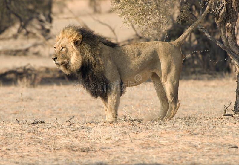 Terrority de la marca del león fotos de archivo