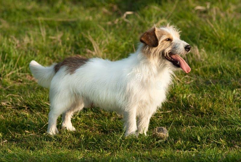 Terrrier Hund Jack-Russell lizenzfreie stockfotografie