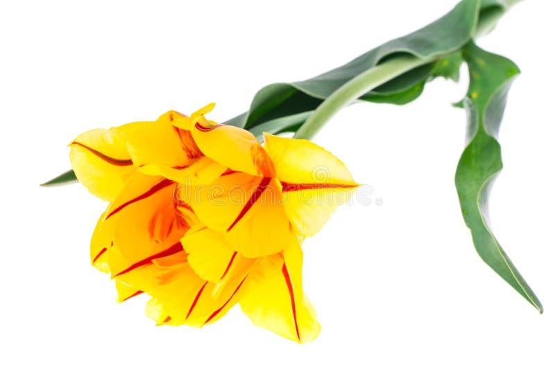 Terry amarillea el tulipán con la raya roja, aislada en el fondo blanco foto de archivo libre de regalías