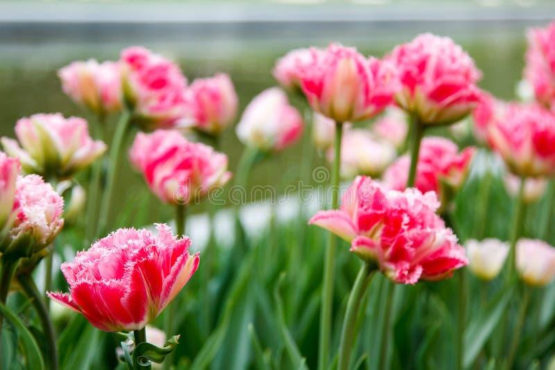 Terry säumte rosa Tulpen auf blured Hintergrund ein lizenzfreie stockfotos