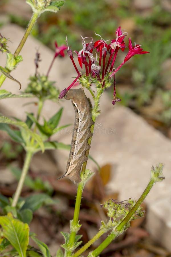 Tersa Sphynx Caterpillar stockfotos