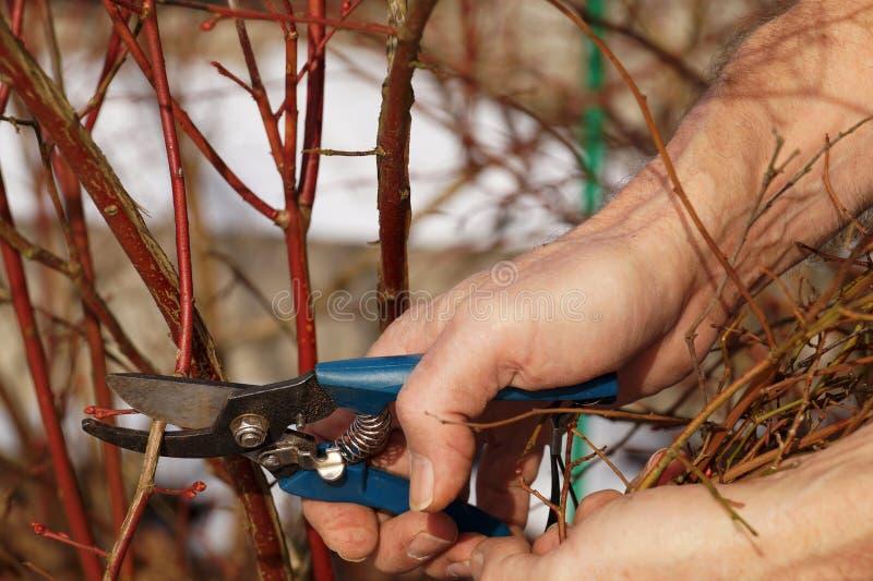 Tesouras de poda na mão do jardineiro Trabalho adiantado no jardim - arbustos de poda da mola imagens de stock royalty free