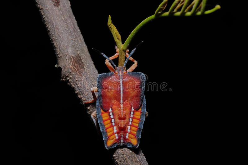 Tessaratomapapillosa royalty-vrije stock afbeelding