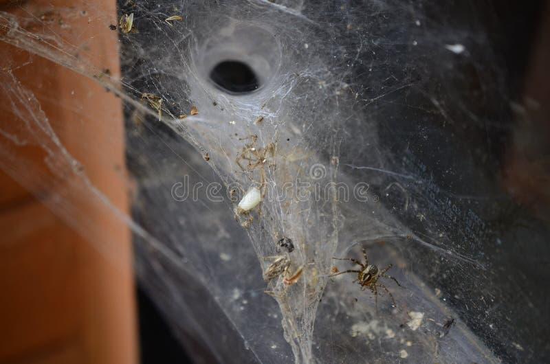 Tessitore del ragno dei cunicoli fotografia stock