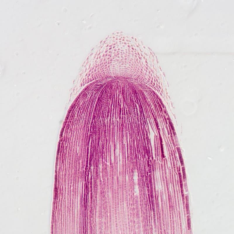 Tessuto di punta della radice della pianta del micrografo fotografia stock libera da diritti