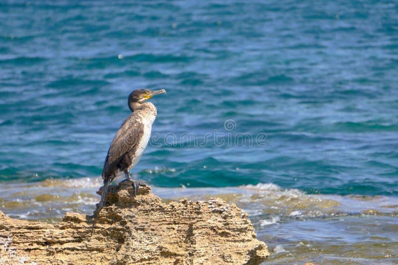 Tessuto felpato Mediterraneo - Phalacrocorax Aristotelis - che si siede su una roccia durante il Sunny Spring Day immagine stock