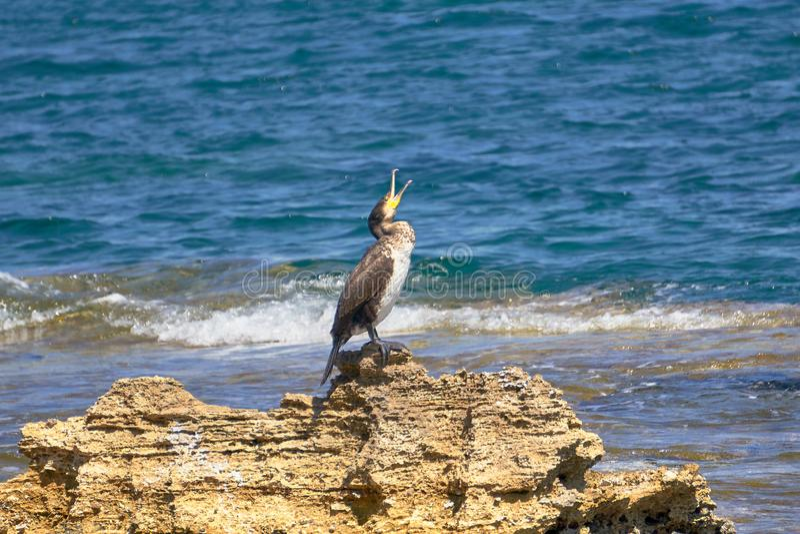 Tessuto felpato Mediterraneo - Phalacrocorax Aristotelis - che si siede su una roccia durante il Sunny Spring Day fotografie stock