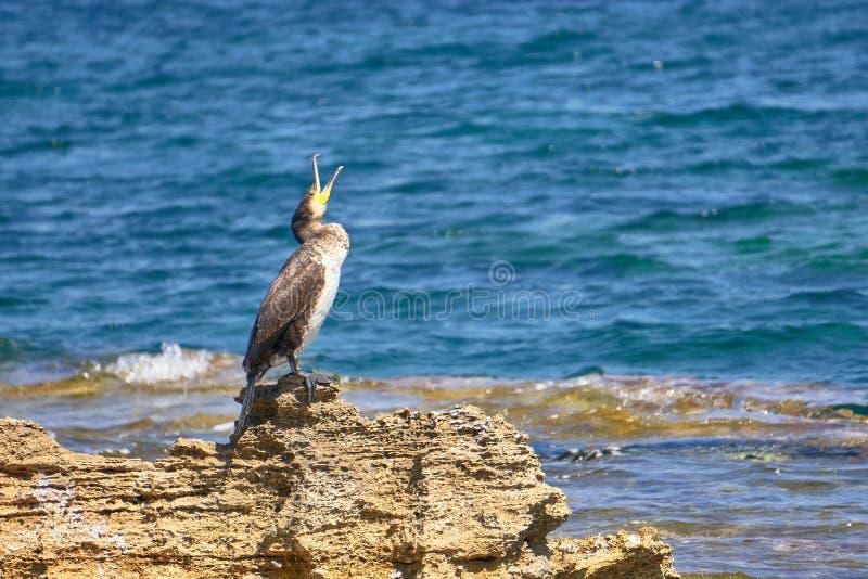 Tessuto felpato Mediterraneo - Phalacrocorax Aristotelis - che si siede su una roccia durante il Sunny Spring Day immagini stock