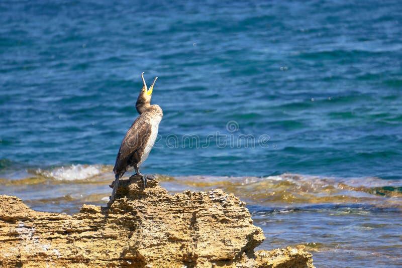 Tessuto felpato Mediterraneo - Phalacrocorax Aristotelis - che si siede su una roccia durante il Sunny Spring Day fotografia stock