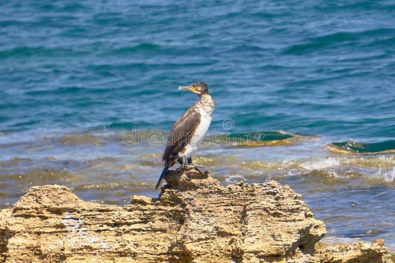 Tessuto felpato Mediterraneo - Phalacrocorax Aristotelis - che si siede su una roccia durante il Sunny Spring Day immagine stock libera da diritti