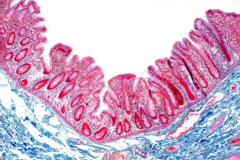 Tessuto umano dell'intestino crasso nell'ambito della vista del microscopio immagini stock libere da diritti