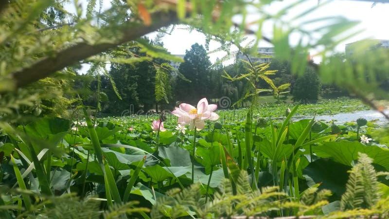 Download Pink Lotus Flower On A Lake Stock Image - Image of lotus, pink: 43660615