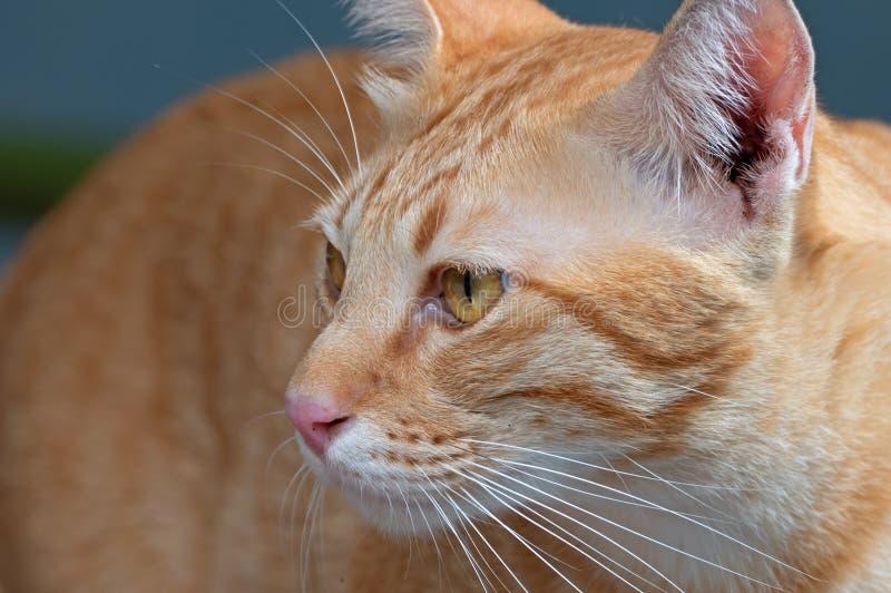 Testa alta vicina di Tabby Cat Isolated arancio su fondo fotografie stock