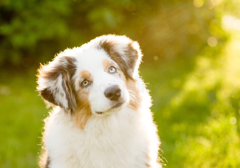 Testa australiana di inclinazioni del cucciolo del pastore fotografia stock