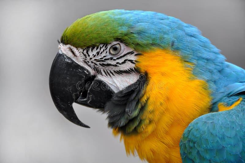Testa Blu-e-gialla di ararauna del Ara del Macaw del primo piano immagini stock libere da diritti
