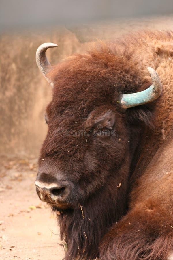 Testa del bisonte fotografia stock