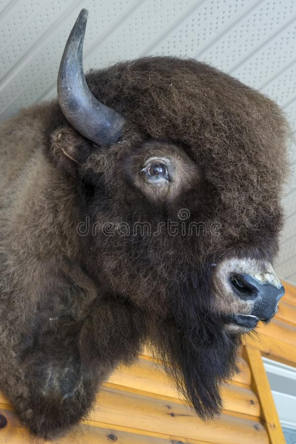 Testa del bisonte - trofeo di caccia fotografia stock