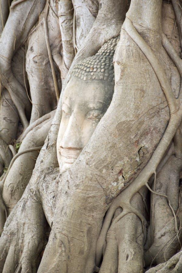 Testa del Buddha, con il tronco di albero e le radici che crescono intorno  immagini stock libere da diritti