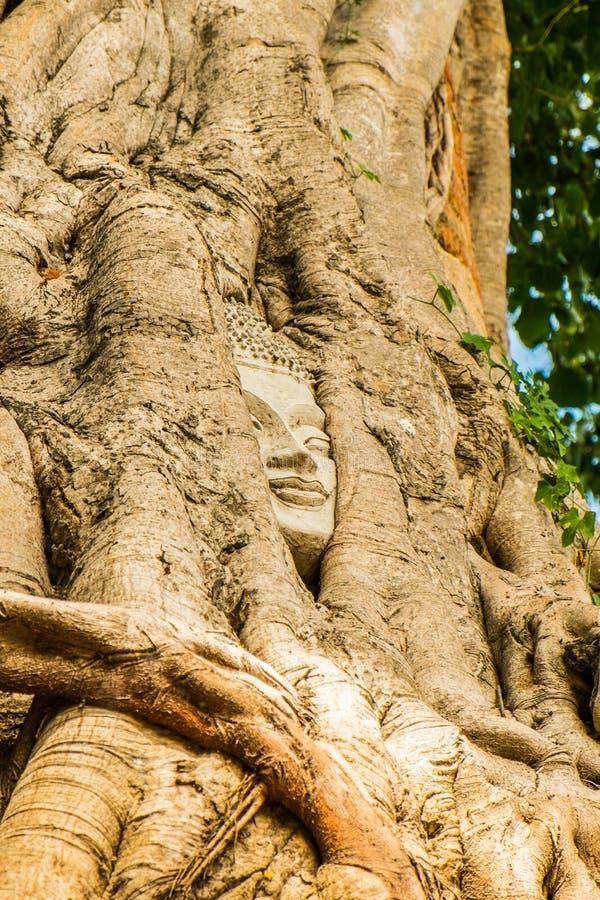 Testa del Buddha in un albero immagine stock