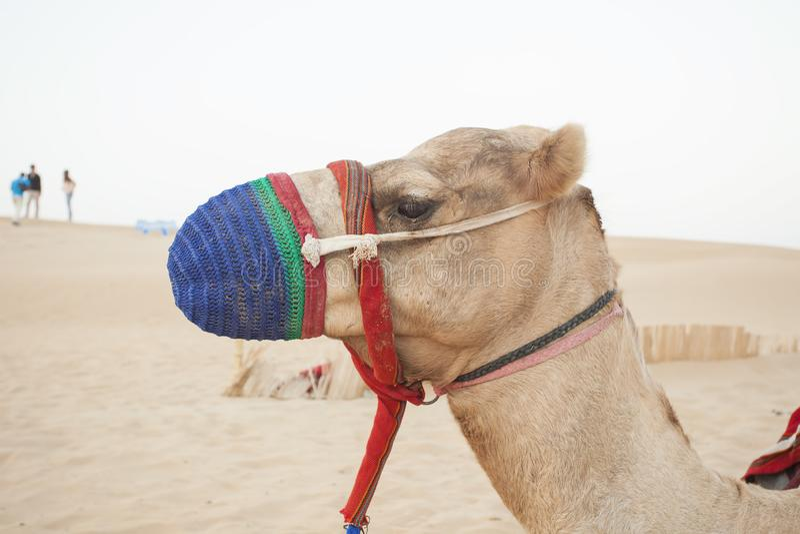 Testa del cammello nel deserto immagine stock