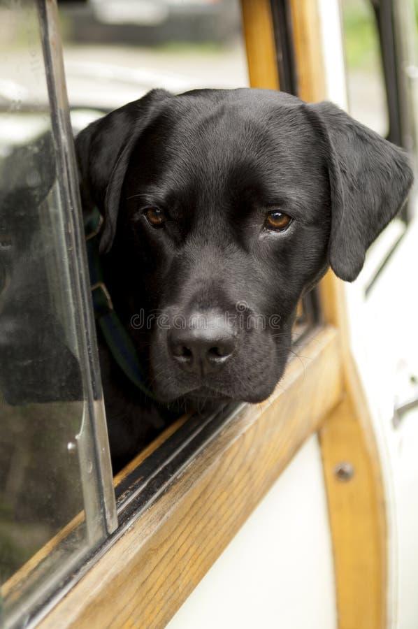 Testa del cane nero che attacca dalla finestra di automobile fotografia stock