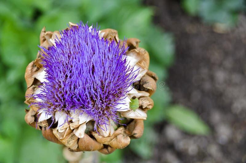 Testa del carciofo con i fiori lilla fotografia stock