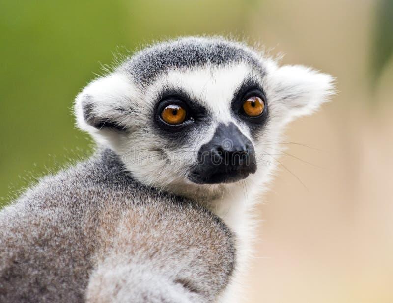 Testa del catta delle lemure delle lemure catta immagine stock