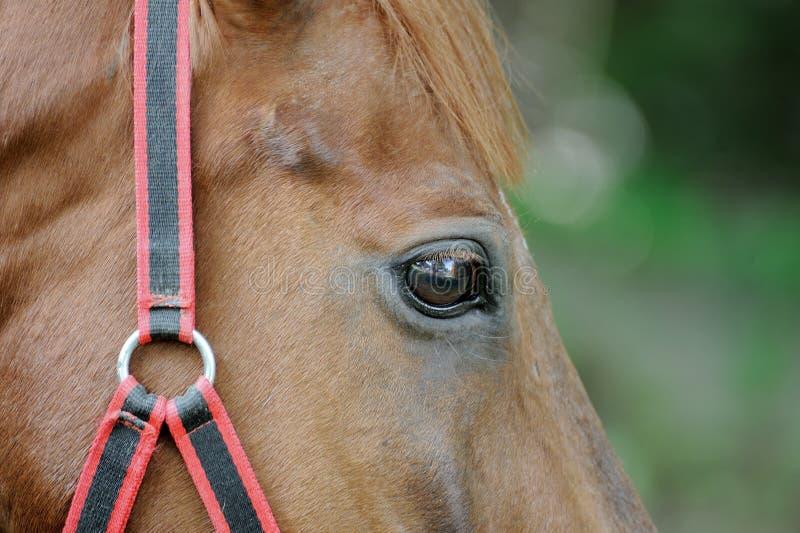 Download Testa del cavallo immagine stock. Immagine di mammifero - 55359227
