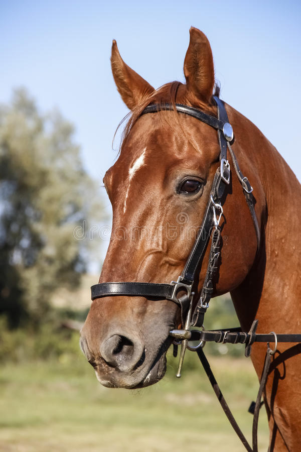 Testa del cavallo immagine stock libera da diritti