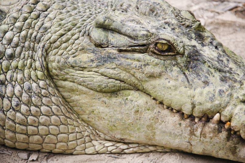 Testa del coccodrillo. immagini stock