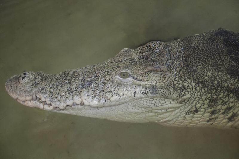 Testa del coccodrillo Tendenza del fondo della struttura superiore dei rettili fotografie stock