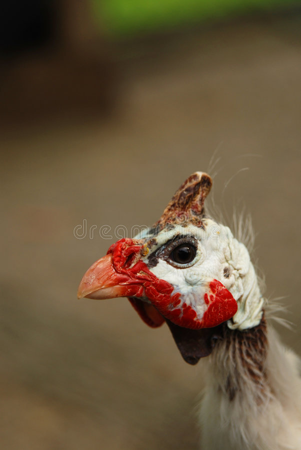 Download Testa del gallo immagine stock. Immagine di particolare - 3876569