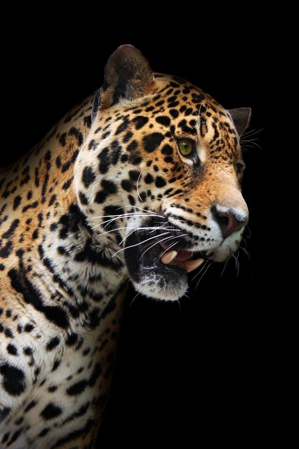 Testa del giaguaro nella nerezza, isolata immagine stock
