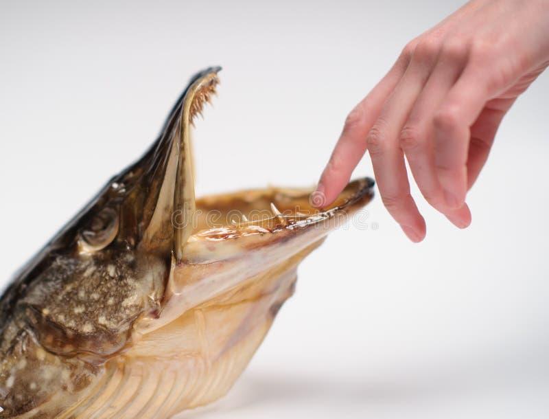 Testa del luccio del pesce di Taxidermied su fondo grigio fotografia stock