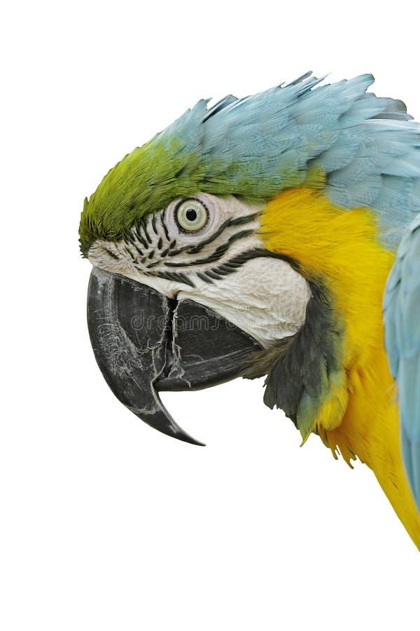 Testa del Macaw, isolata immagini stock