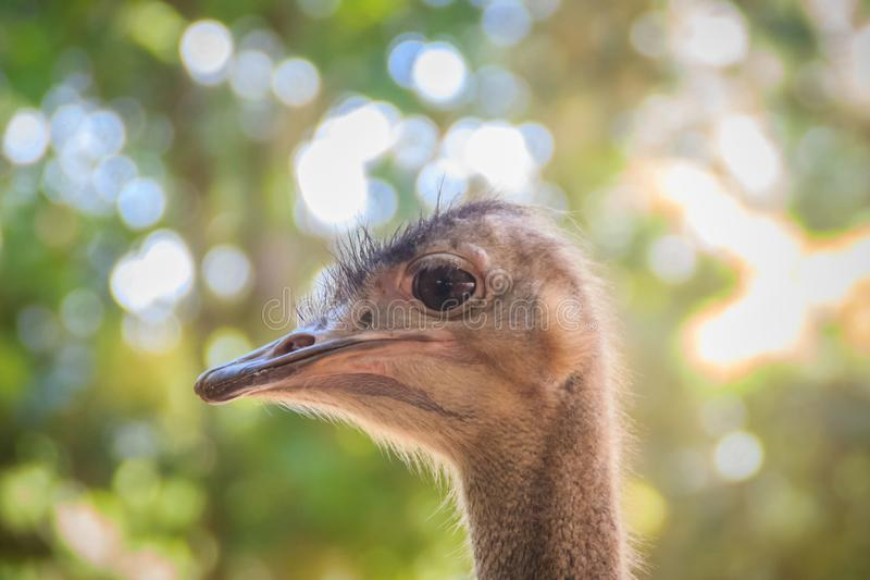 Testa del maschio dello struzzo africano (struthio camelus) in natura, sopra immagini stock libere da diritti