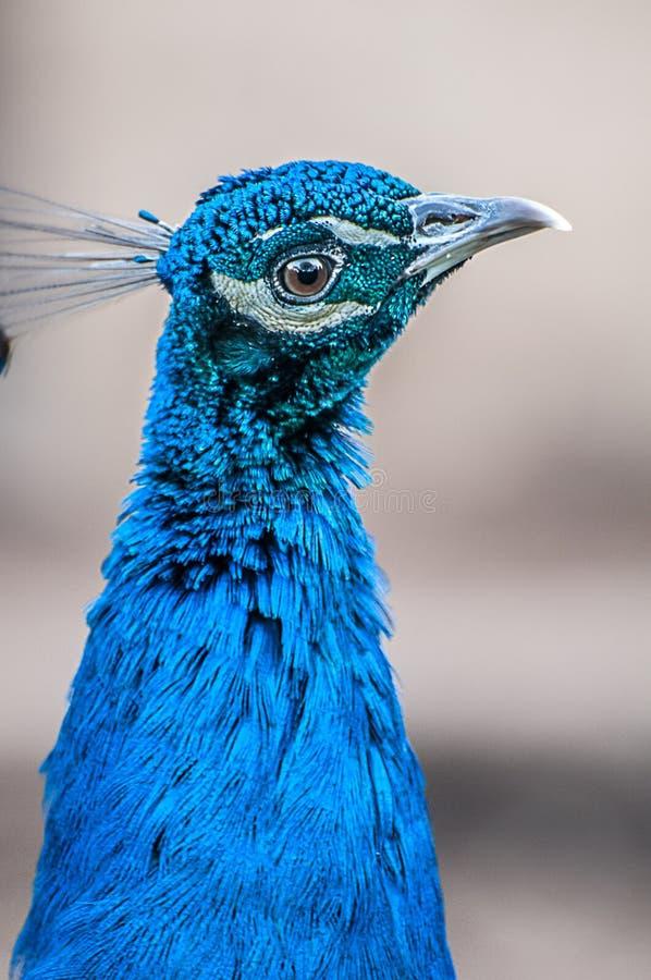 Testa del pavone, alto vicino del pavone fotografie stock libere da diritti