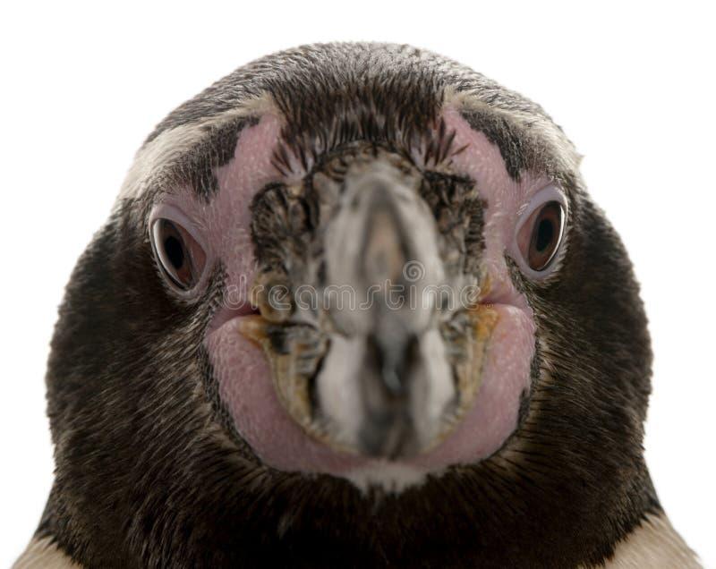 Testa del pinguino di Humboldt, humboldti dello Spheniscus fotografia stock