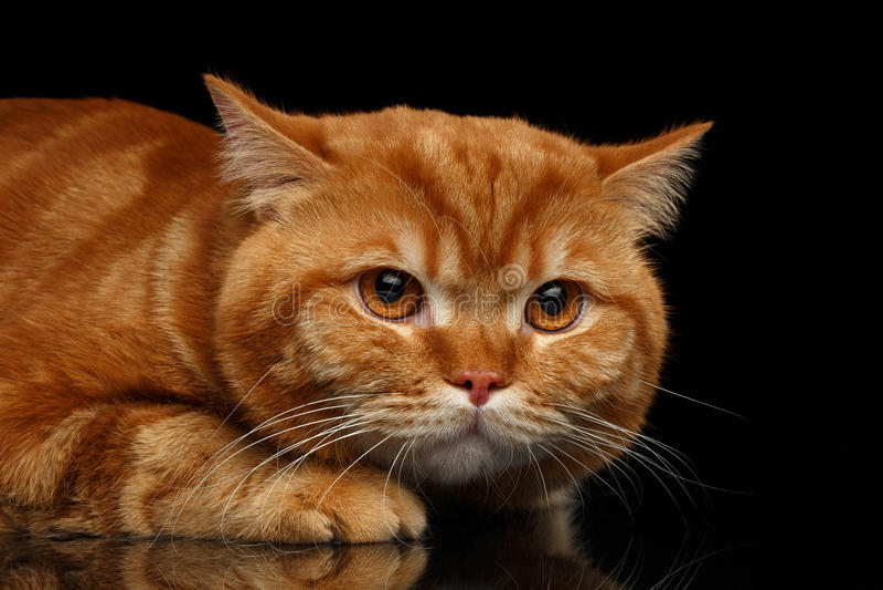 Testa del primo piano del gatto britannico rosso scontroso con le zampe isolate fotografia stock
