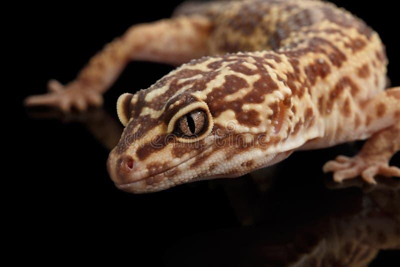 Testa del primo piano del macularius di Eublepharis del geco del leopardo isolata sul nero fotografia stock libera da diritti