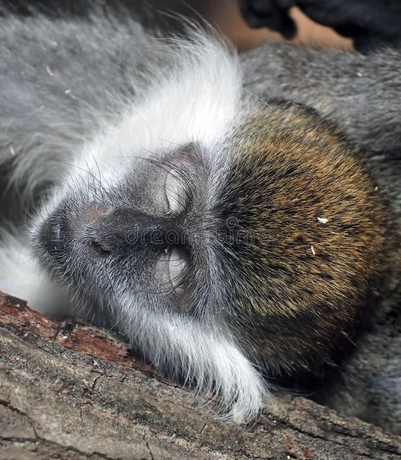 Testa del ` s della scimmia con il primo piano chiuso degli occhi immagini stock