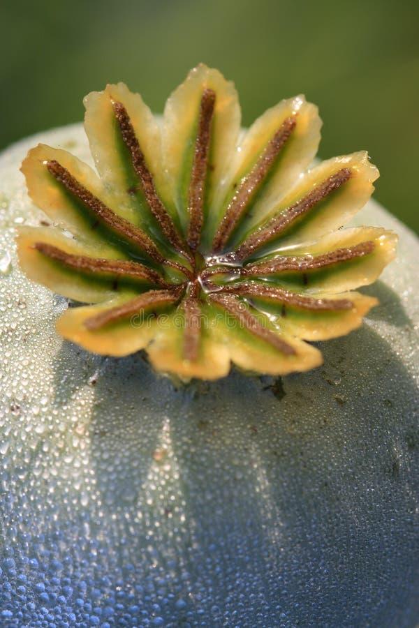 Testa del seme di papavero fotografia stock libera da diritti
