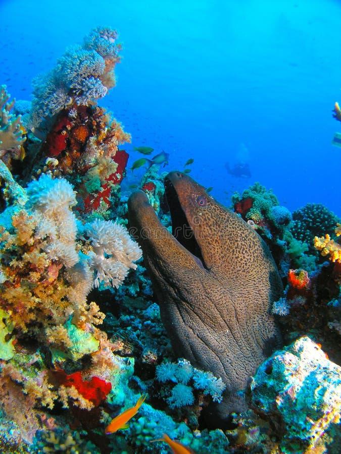 Testa dell'anguilla gigante di Morey