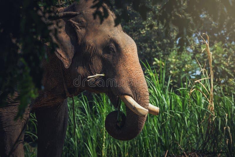 Testa dell'elefante fotografie stock