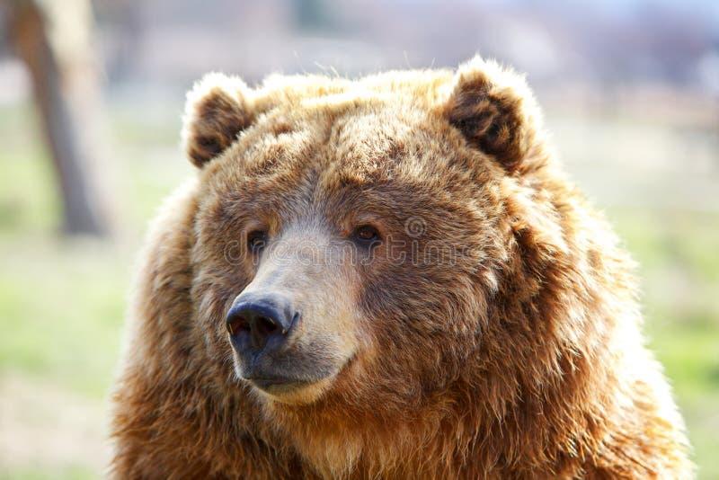 Testa dell'orso di Brown fotografia stock