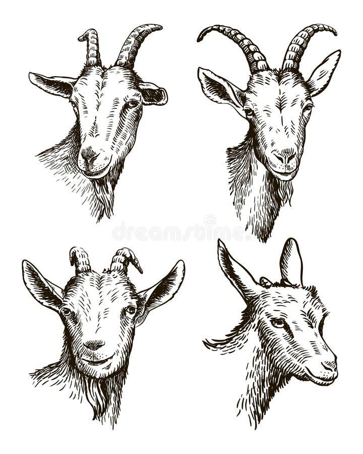 Testa della capra bestiame pascolo animale schizzo disegnato a mano illustrazione di stock