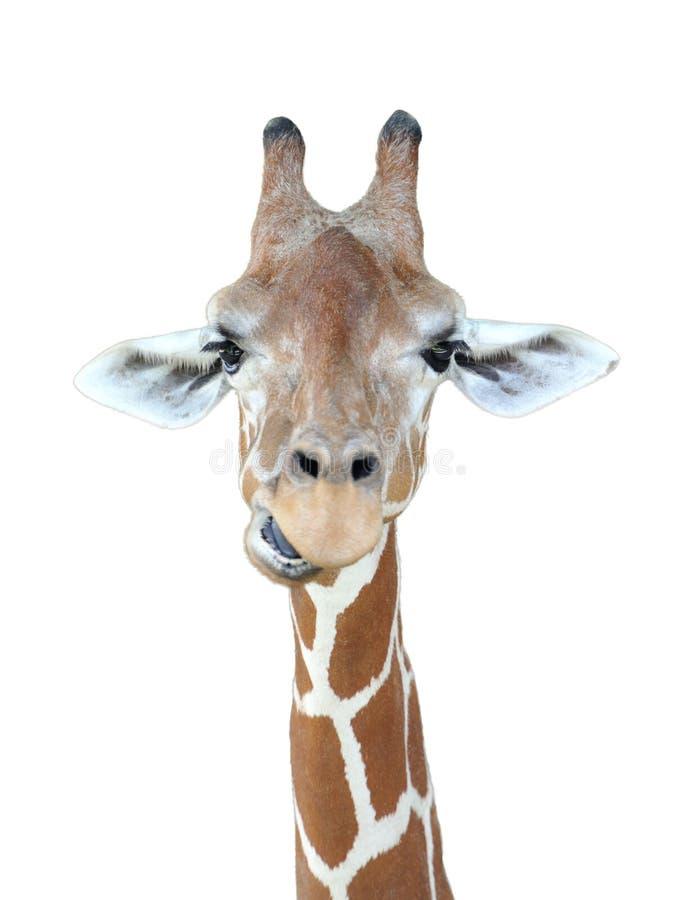 Testa della giraffa immagini stock