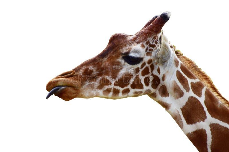 Testa della giraffa con la lingua fuori fotografia stock libera da diritti