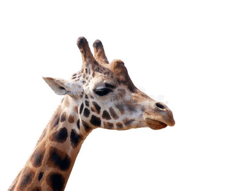 Testa della giraffa isolata fotografia stock libera da diritti